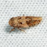 Menosoma cincta