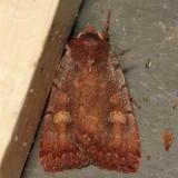10969 - Dull Reddish Dart - Xestia dilucida