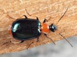 Green-winged Lebia - Lebia viridipennis