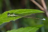 Sedge Sprite - Nehalennia irene (male)