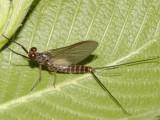 Leptophlebia cupida (Early Brown Spinner)