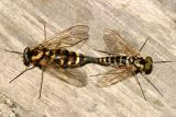 Ornate Snipe Flies - Chrysopilus ornatus (mating pair)