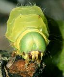 7758 - Luna Moth caterpillar - Actias luna