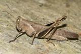 Abracis flavolineata (female)