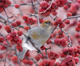 Pine Grosbeak - Pinicola enucleator (female)