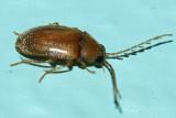 Ptilodactylus sp.