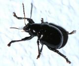 Typophorus nigritus?