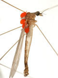 Calyptostomatidae - Calyptostoma sp. (Common parasites of Tipulide)