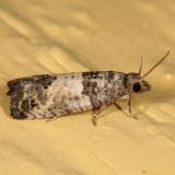 2906 - Bud Moth - Spilonota ocellana