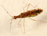 Dicyphus famelicus