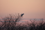 Snowy Owl - Nyctea scandiaca at Dusk Landing in a Tree