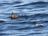 Harlequin Duck and Dovekie - Alle alle