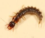 Pterostichus sp. (larva)