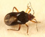 Velvet Water Bug (Hebridae)  Hebrus burmeisteri