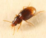 Mioptachys flavicauda
