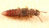 Unmargined Rove Beetles - subfamily Osoriinae