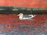 Slaty-backed Gull - Larus schistisagus