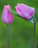 Ottawa Tulips