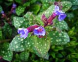 Little Blue Blossoms