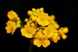 Yellow Alyssum