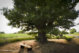 Meet Me Under The Old Oak Tree?