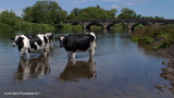 Staffordshire Cows Chilling Out