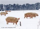 Snow Sows 2