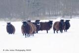 Soay Sheep Surviving Suffolk Sunday Snowscape