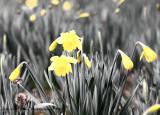Daffodil Deception