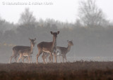 Hinds in the Mist