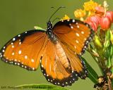 Queen Butterfly_web.jpg