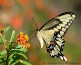 Giant Swallowtail_web.jpg