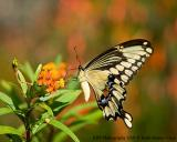 Giant Swallowtail feeding_web.jpg