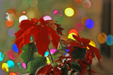 Poinsettia  Lights 7918s.jpg