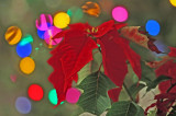 Poinsettia  Lights 7931s.jpg