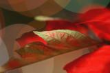 Poinsettia 7906s.jpg