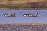 IMG_1038blue-winged geese.jpg