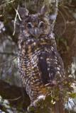 IMG_1276abyssinian owl.jpg