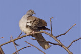 IMG_2329african white-winged dove2.jpg