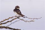 IMG_4110white-tailed swallow3.jpg