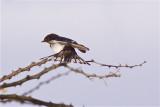 IMG_4113white-tailed swallow.jpg