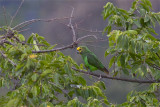 IMG_5423yellow-fronted parrot.jpg