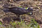 IMG_5255thick-billed raven.jpg