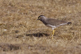 IMG_6533spot-breasted lapwing2.jpg