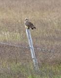 Short eared Owl - Iceland