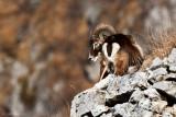 Mouflon (Ovis musimon)