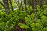 78 - N.W. Wisconsin: Brule River Ferns