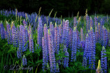 ** 111.8 - Lupines:  Shades of Moody Blue