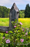 106.31 - Wild Roses On Fence