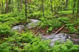** 63.3 - Superior Township Countryside:  Copper Creek And Spring Ferns, With Deer